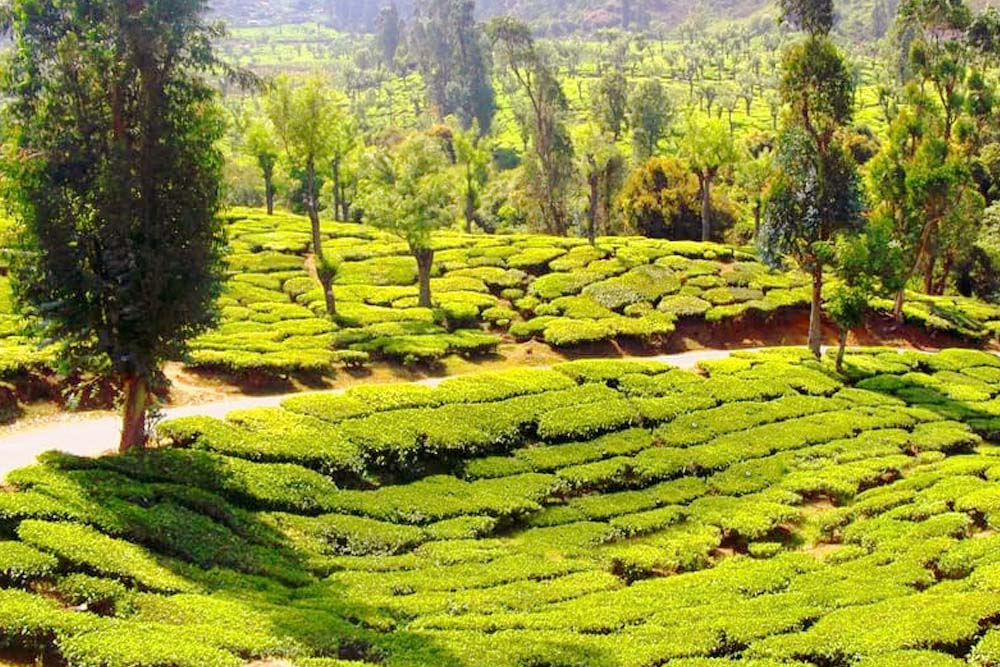 Ooty - Tea Estate